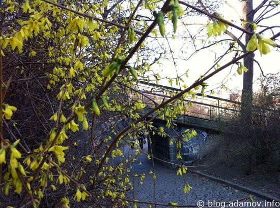 """В Праге распустились кусты, которые называются """"золотой дождь"""""""
